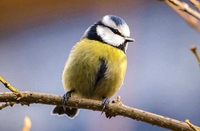 blue tit as seen in my big garden birdwatch